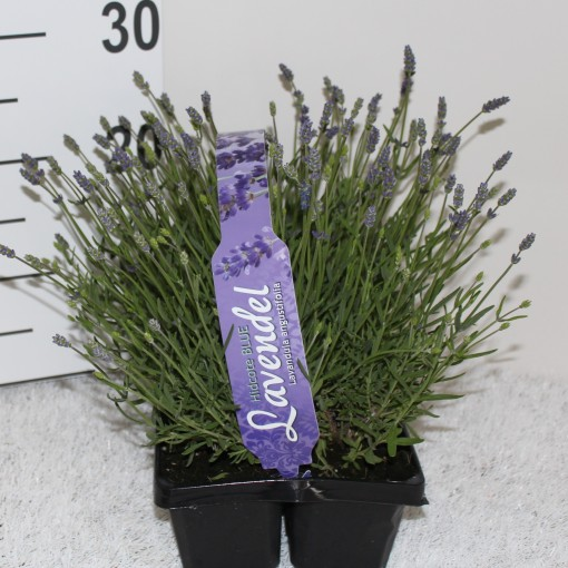Lavandula angustifolia 'Hidcote' (Experts in Green)