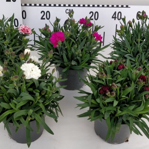 Dianthus SUNFLOR MIX (Experts in Green)