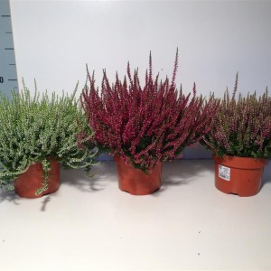 Calluna vulgaris GARDEN GIRLS MIX (Experts in Green)