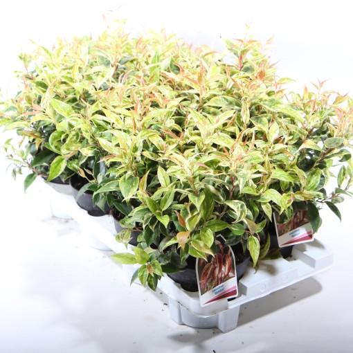 Leucothoe fontanesiana 'Makijaz' (Experts in Green)