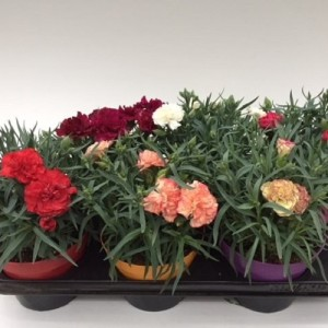 Dianthus FLOW MIX (Green Collect Sales)
