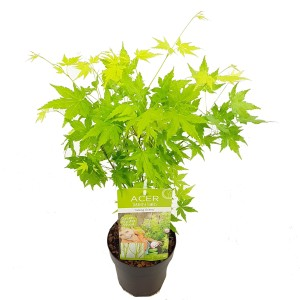 Acer palmatum 'Going Green'