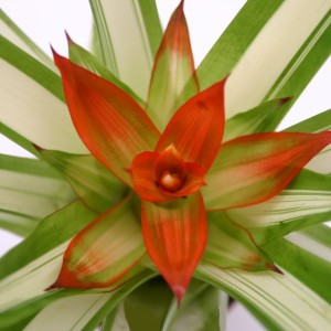 Guzmania 'White Line' (Ammerlaan, The Green Innovater)