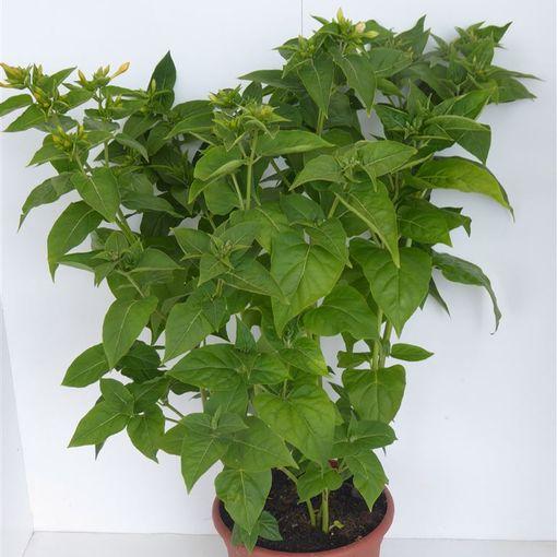 Mirabilis jalapa (Experts in Green)
