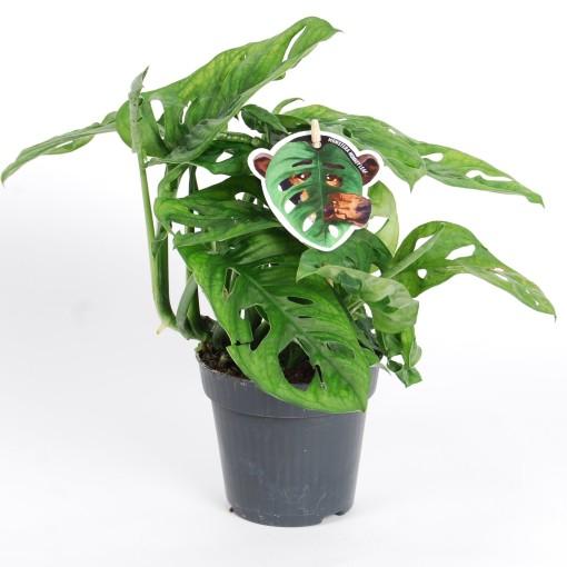 Monstera obliqua 'Monkey Mask' (Van der Arend Tropical Plantcenter)