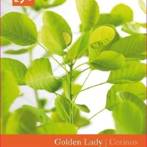 Cotinus coggygria GOLDEN LADY (Snepvangers Tuinplanten BV)
