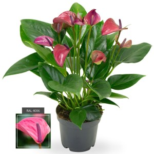 Anthurium KARMA PURPLE