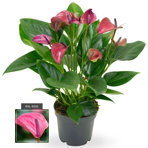 Anthurium KARMA PURPLE (Karma Plants)