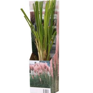 Cortaderia selloana 'Rosea' (Van der Valk bv)