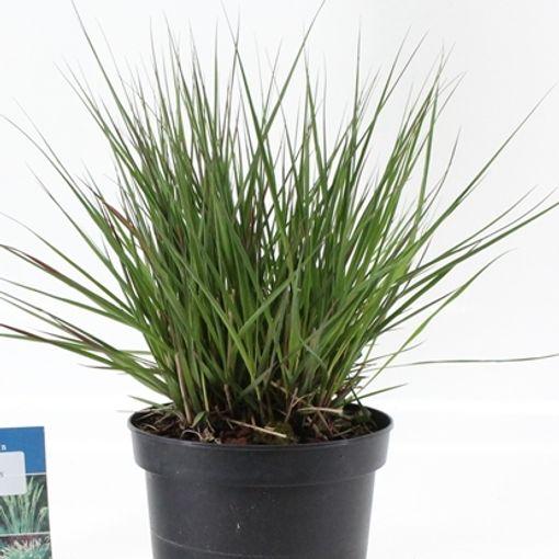 Molinia caerulea 'Edith Dudszus' (About Plants Zundert BV)