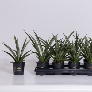 Sansevieria 'Comet Rocky Mountains'