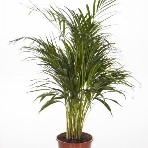 Dypsis lutescens (Ammerlaan )