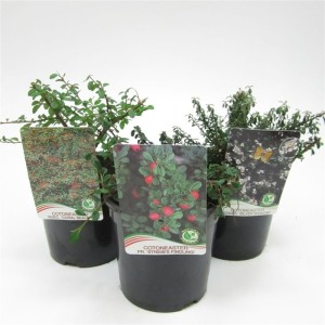 Cotoneaster MIX