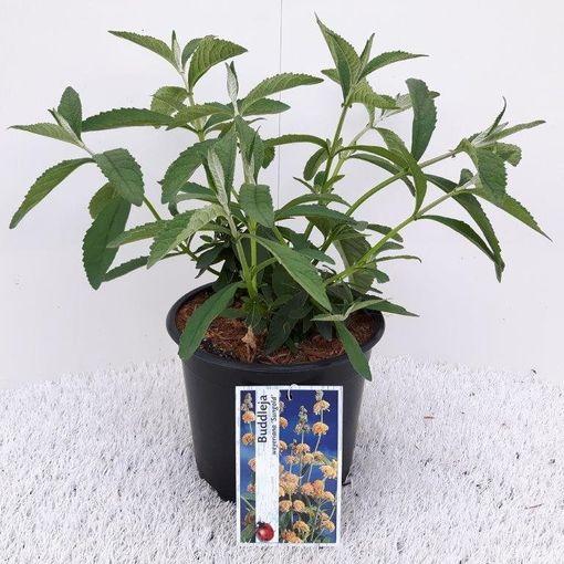 Buddleja x weyeriana 'Sungold' (About Plants Zundert BV)