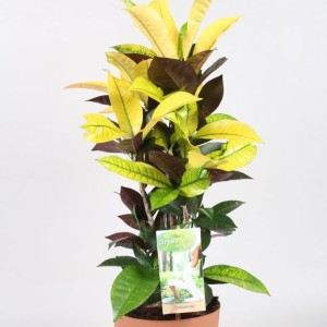 Codiaeum variegatum 'Mrs Iceton'