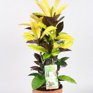 Codiaeum variegatum 'Mrs Iceton' (Vireo Plant Sales)