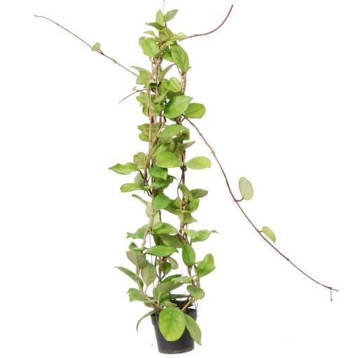 Hoya fungii (Van der Arend Tropical Plantcenter)