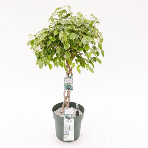 Ficus benjamina 'Golden King' (MDK Plants)