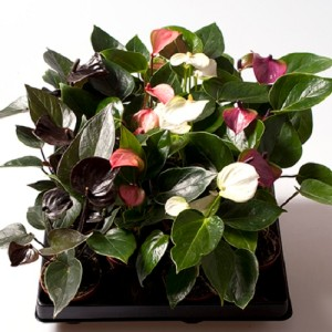 Anthurium ANDRAEANUM MIX