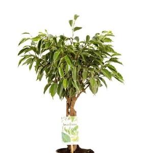 Ficus benjamina 'Nina'