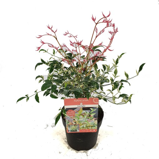 Nandina domestica 'Twilight' (Son & Koot BV)
