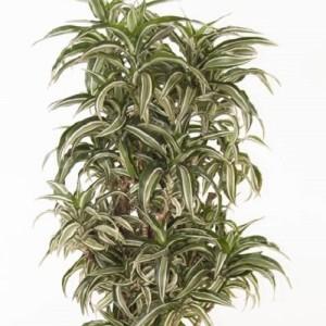 Dracaena fragrans 'Kanzi'
