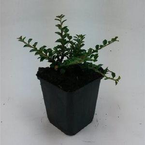 Cotoneaster horizontalis (WTM de Boer)