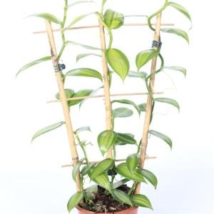 Vanilla planifolia 'Variegata'