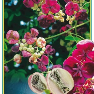 Akebia quinata (Gebr. Griffioen)