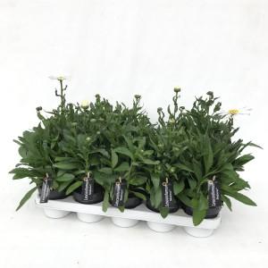 Leucanthemum MADONNA