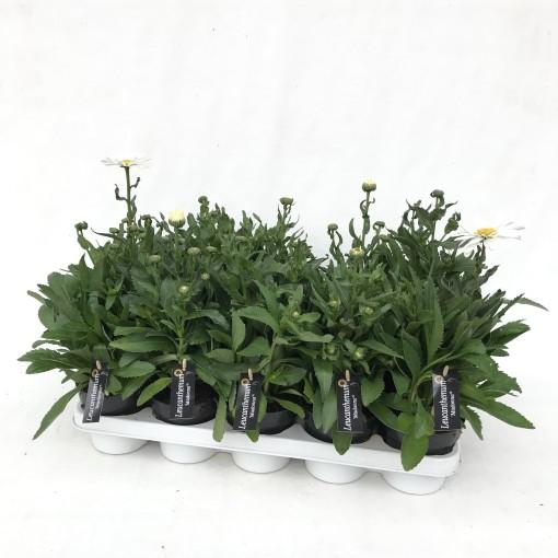 Leucanthemum MADONNA (De Liesvelden Kwekerij)