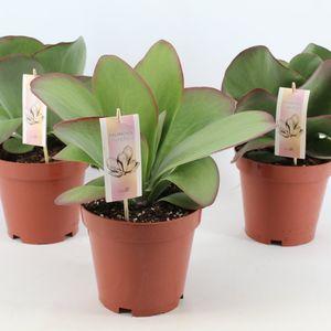 Kalanchoe thyrsiflora (Joy Plant)