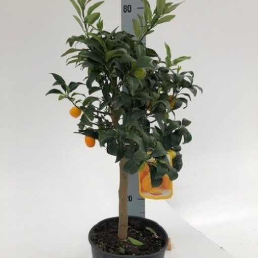 Citrus japonica (Green Collect Sales)