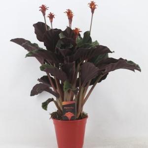 Calathea crocata MARAVIDA