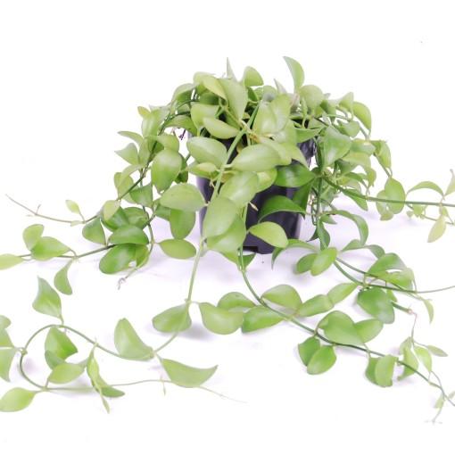 Dischidia 'Geri' (Van der Arend Tropical Plantcenter)