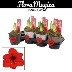 Hippeastrum MIX (Vreugdenhil Bulbs & Plants)