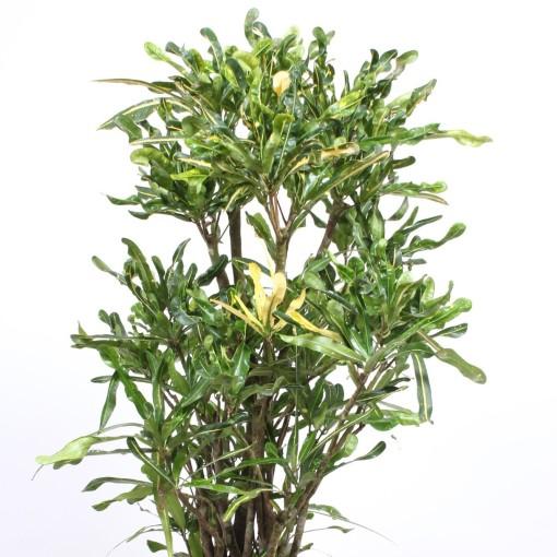 Codiaeum variegatum 'Mini Curly' (Fachjan)