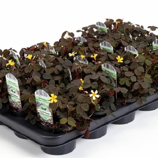 Oxalis articulata (Gasa DK)