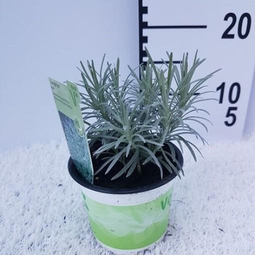 Helichrysum italicum 'Kari' (Experts in Green)
