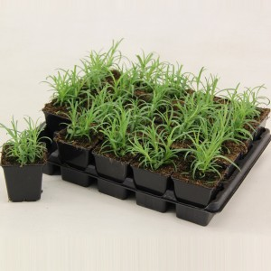 Dianthus barbatus MIX