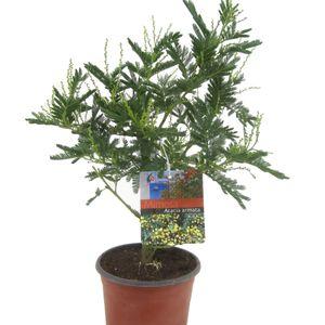 Acacia paradoxa (Luiten kwekerij)