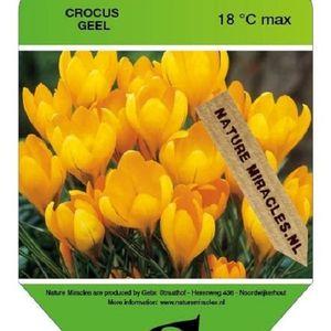 Crocus flavus (Gebr. Straathof)