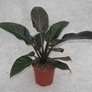 Philodendron 'Imperial Red'