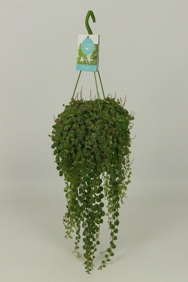 Peperomia Prostrata P14cm H25cm Plant Wholesale Floraccess