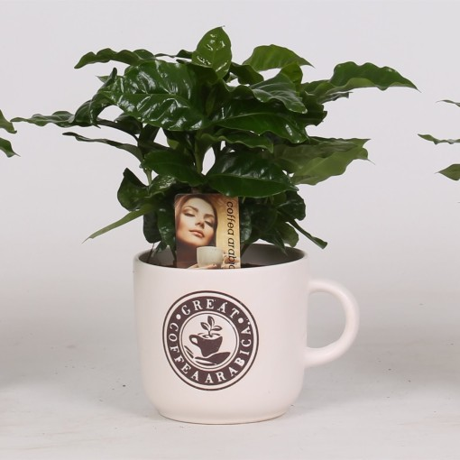 Arrangements Coffea (Groot BV, Kwekerij J. de )