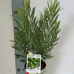 Leucadendron 'African Gold'