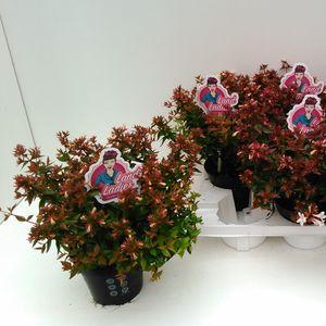 Abelia x grandiflora 'Prostrata'