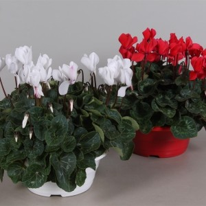 Cyclamen persicum SUPER SERIE S ALLURE MIX (Adrichem Potplanten)