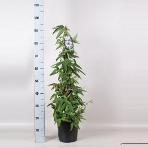 Passiflora violacea (Gebr. Seuren Rozenkwekerijen BV)