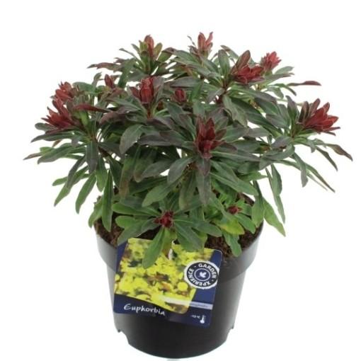 Euphorbia amygdaloides 'Purpurea' (Noordpoel, Kwekerij de)